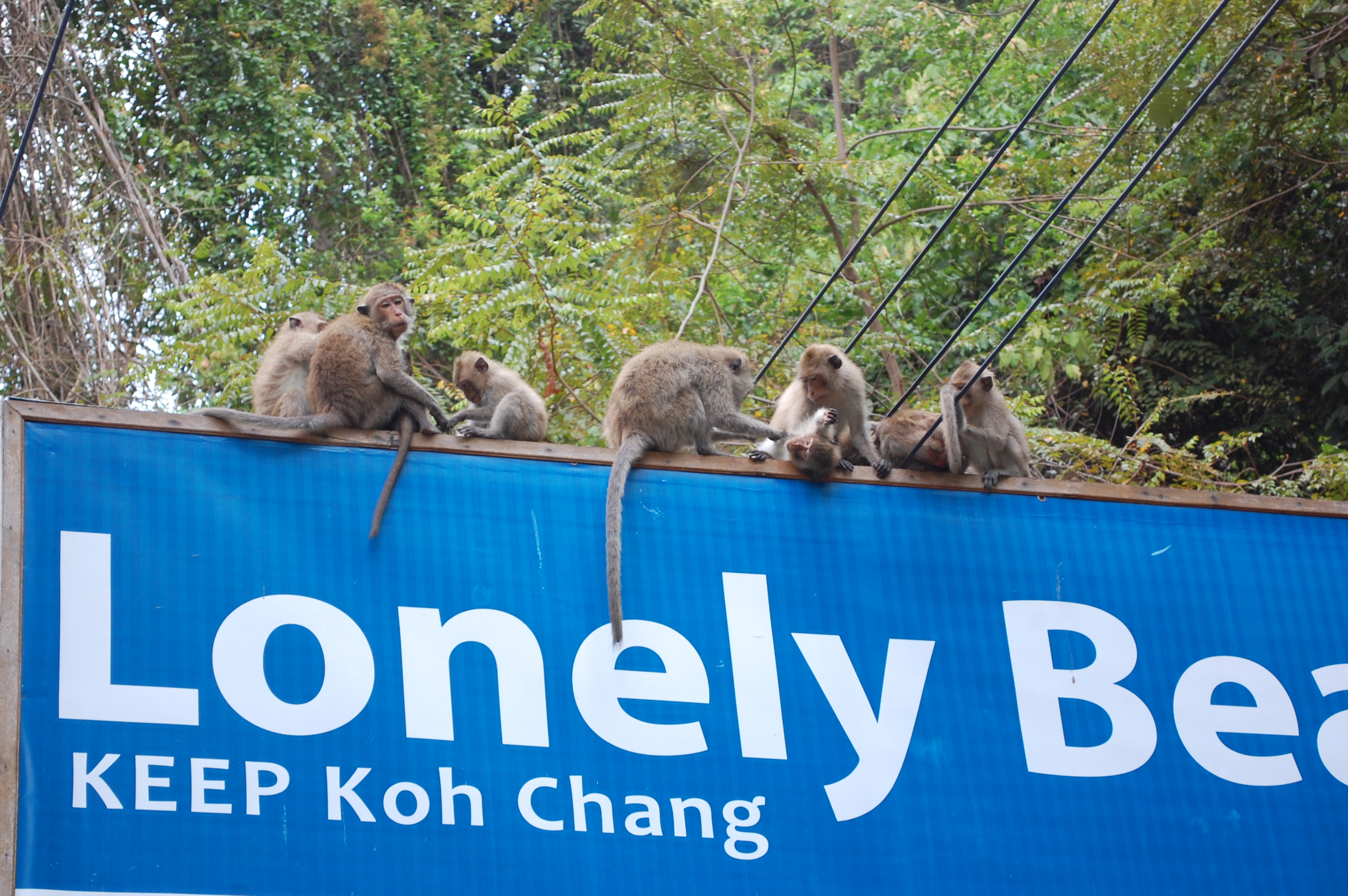 maimute thailanda