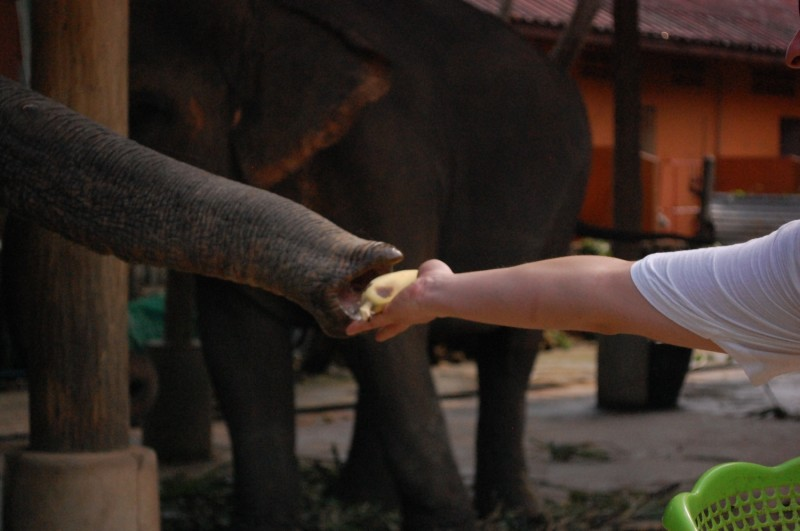 elefant banana