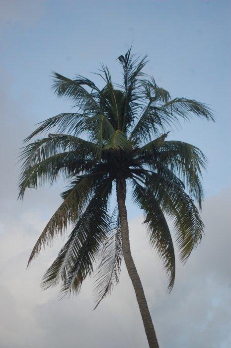 palmier malaezia