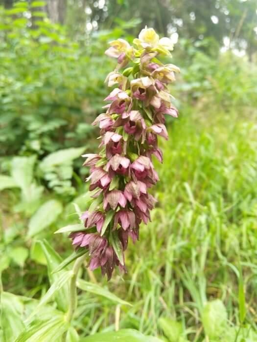 orhidee elveția