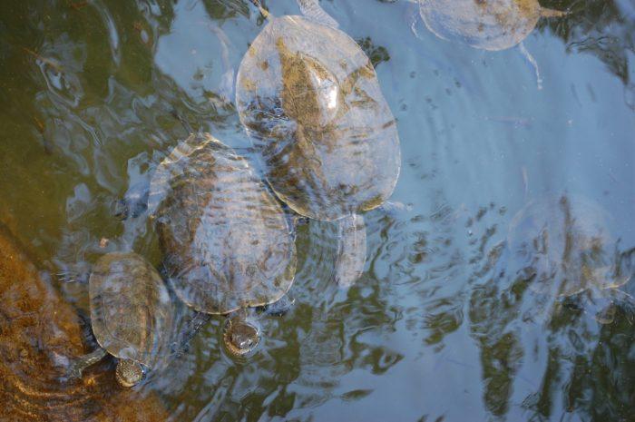 țestoasă