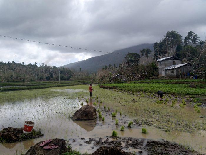plantație orez