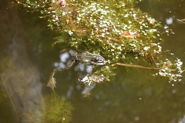 broască